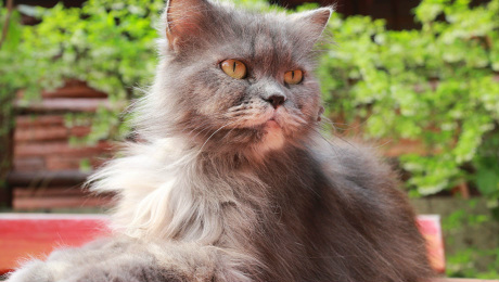 Long haired pedigree cat